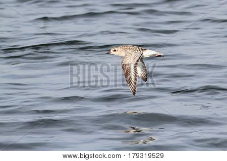Black-bellied Plover (Pluvialis squatarola) flying over the Atlantic ocean