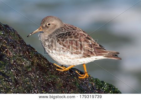 Purple Sandpiper (Calidris maritima) by the Atlantic ocean