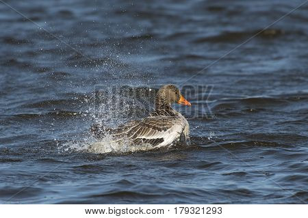 Greylag Goose (Anser anser) taking a Bath at the surface of a Lake