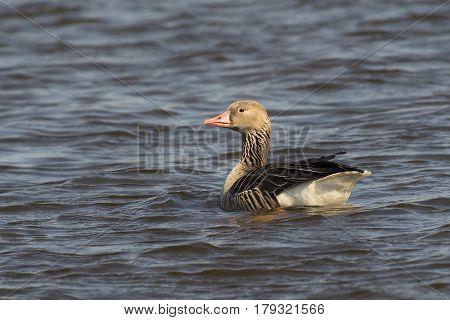 Greylag Goose (Anser anser) swimmig in a Lake
