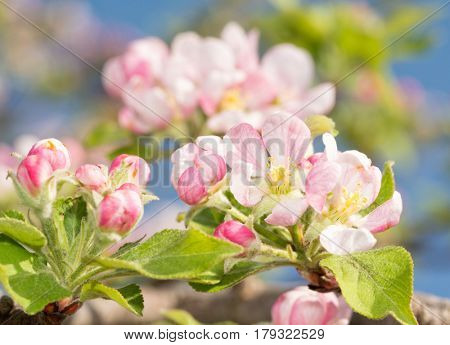 Beautiful pink and white apple flowers in early spring, with blue sky