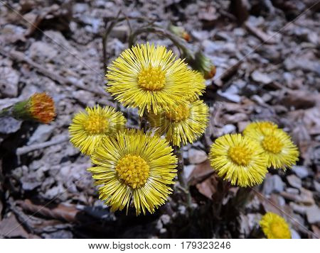 Beautiful yellow coltsfoots on a natural background, Yellow flowers, Coltsfoot (Tussilago farfara),