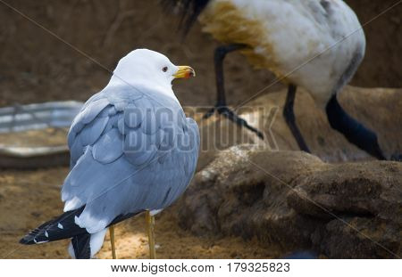 Big seagull close up wild seagull - typical bird in New Zeland