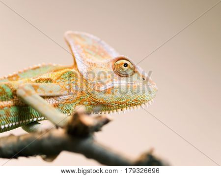 Portrait of Cone-head chameleon on the branch looking up - Chameleo calyptratus