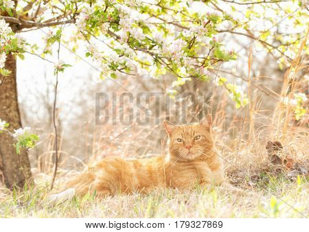 Beautiful orange tabby cat relaxing under a flowering apple tree in spring, back lit by sun