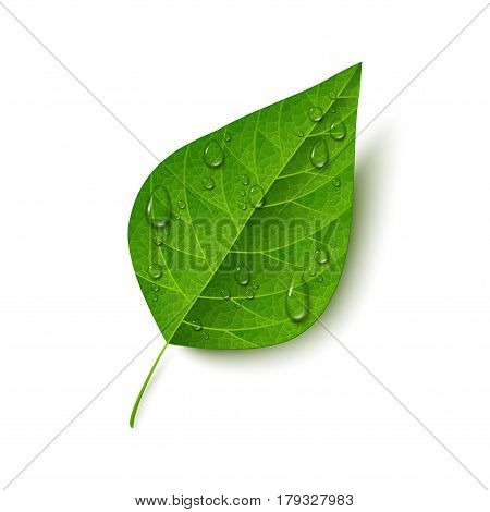 Green leaf with water drops isolated on white background. Morning dew, fresh spring foliage. Vector illustration.
