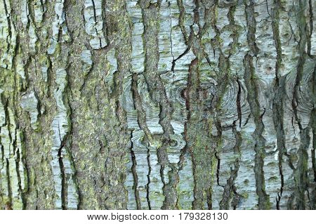 Noble Fir Grooved Bark Pattern and Texture
