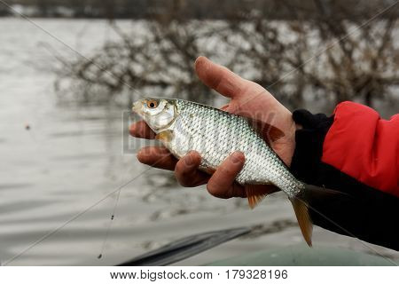 Man is holding roach, early spring float fishing on a river
