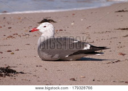 A Heermann's gull, Larus heermanni sits on a beach on the Sea of Cortez in winter