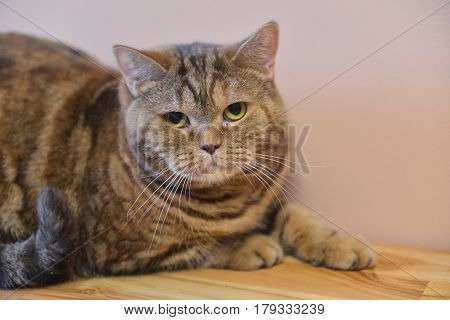 A young British tabby cat sits at home