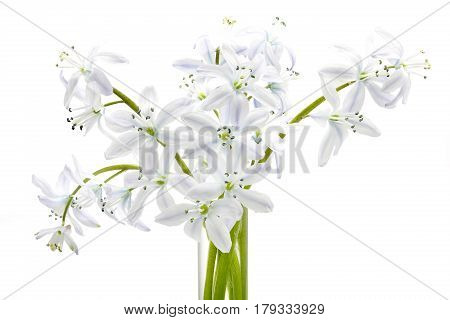 White Scilla flowers isolated on white background