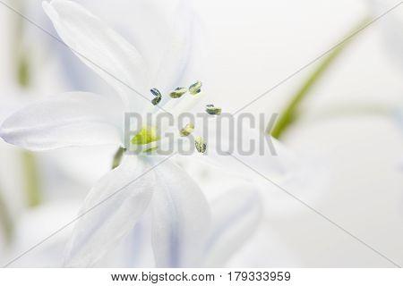 Single white Scilla flower, closeup shot, shallow DOF
