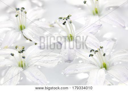 White Scilla flowers in water with water drops