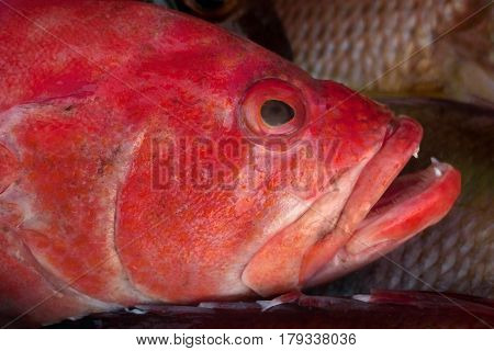 Portrait Face Large Sea Fish Redsnepper, Thick Red Lips, Open Mouth, On The Background Of The Scales