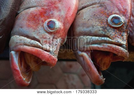 Portrait Muzzle Pair Redsnepper Delicate Pink Color, Open Jaws, Small Teeth Visible, Blue Eyes Bulgi