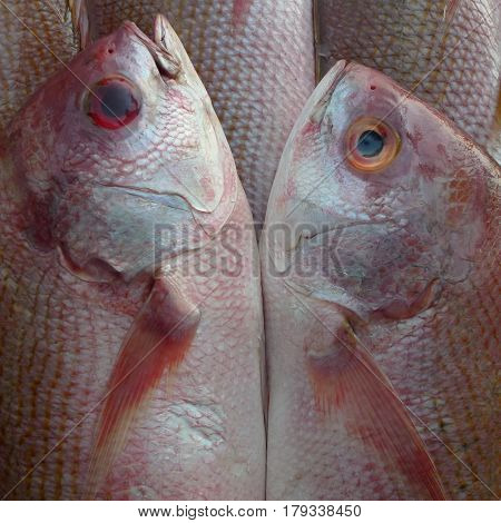 Couple Dreamlike Beautiful Sea Pink Fish Gently Touch Their Bellies, Snouts To Each Other, Like A Mi
