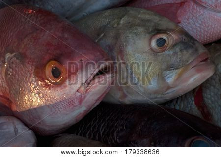 Gray Fish With Blue Eye Behind, And In Front Of A Red Fish With Bulging Eyes And Open Mouth.