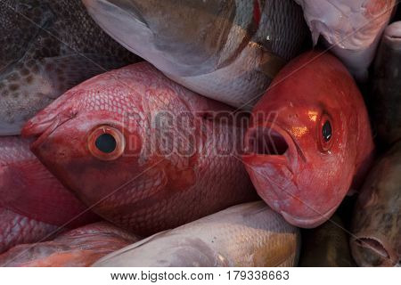 Pile Of Fresh Sea Fish In The Market, Two Big Red Fish.
