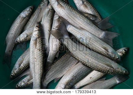 Close To A Lot Of Saltwater Fish With Gray Scales Diagonally Lying On The Green Background, Fish For