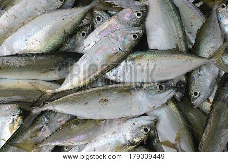 A Great Many Silvery Fresh Sea Fish On Sale In The Market Of Fishermen, Shiny Scales.