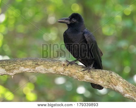 Raven, A Large Bird With Black Feathers And A Strong Brown Beak Sits On A Thick Branch Tree Against
