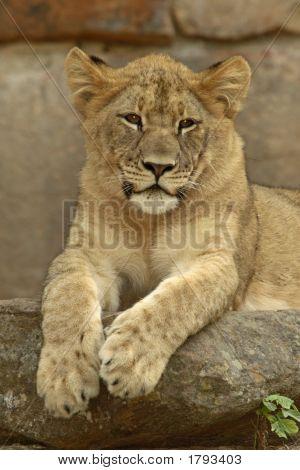 Lion Cub'S Portrait