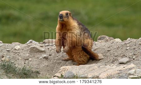 Tibetan Bright Red Marmot, Standing On Hind Legs On The Ground On Grass Background, Ladakh, India.