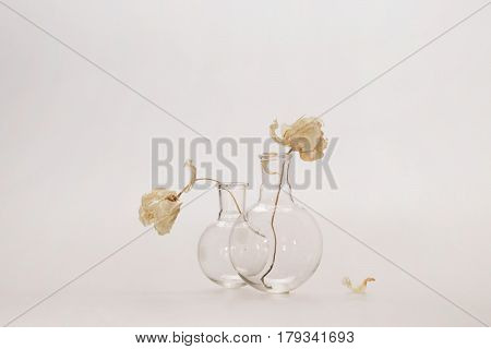 Two White Flowers On Long Stalks In Glass Transparent Flasks, The Heads Of Flowers Are Turned Away F