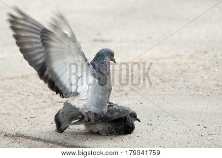 Two Pigeon On Top Of A Male With Outstretched Wings In Soft Focus Movement, Love Of Birds, Sex, Spri