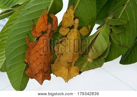 Three Leaf-mantis, Exotic Insects Look Like A Living Plant Leaf, Sitting On A Bush On A White Backgr