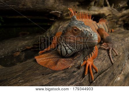 The Huge Iguana Lizard Moves Along The Trunk Of The Tree, Turns Its Head And Looks Carefully, The Co
