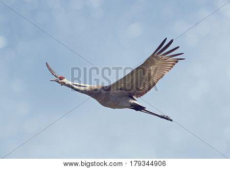 Sandhill Crane in Flight against blue sky