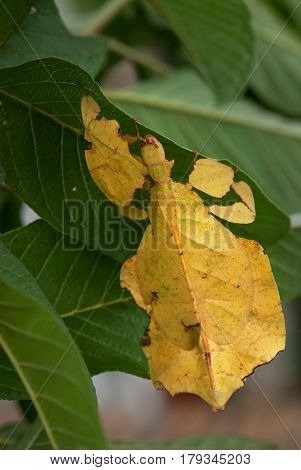A Bright Yellow Exotic Tropical Insect Phasmatodea In The Foliage Of Plants, Under The Form Of Which