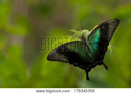 A Large Tropical Exotic Butterfly With Black Unfurled Wings And A Little Turquoise Color On Its Wing