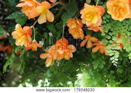 Hanging Begonia Flower in the raining day