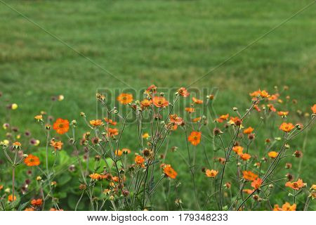 Total Tangerine Avens Geum coccineum  Flower in the field