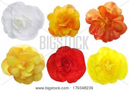 Begonia Flower heads set isolated on white background