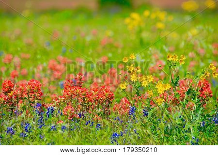 Texas spring wildflowers in the hill country