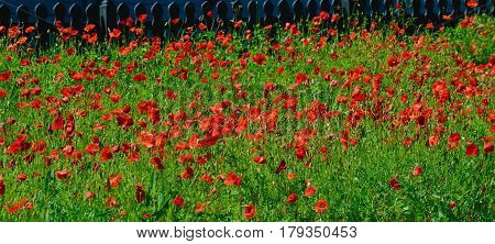 Red poppies downtown Georgetown Texas in the Spring