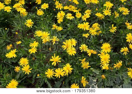Yellow Daisies Leopards Bane Flower