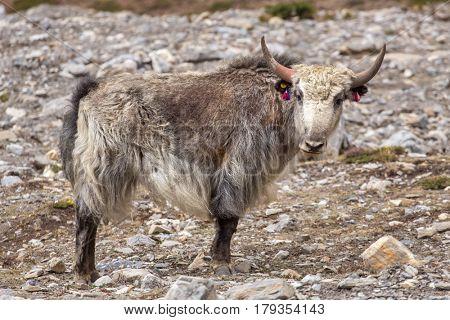 Domestic yak in the Himalaya mountains, Nepal
