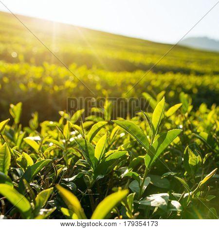 Green tea leaves close-up.  Mae Chan tea plantations in Northern Thailand