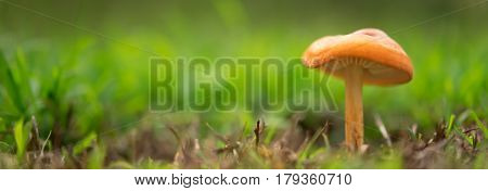 Orange mushroom landscape panorama with green grass
