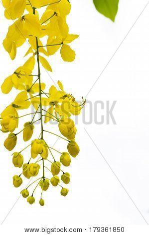 Golden Shower Tree or Cassia fistula in Khon Kaen.