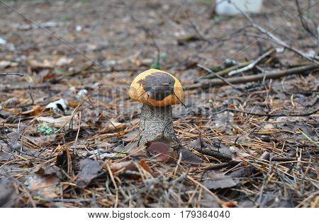 Mushroom hunting. Gathering mushrooms. Leccinum aurantiacum or aspen mushroom mushroom photo forest mushroom forest mushroom photo. Gathering Wild Mushrooms.