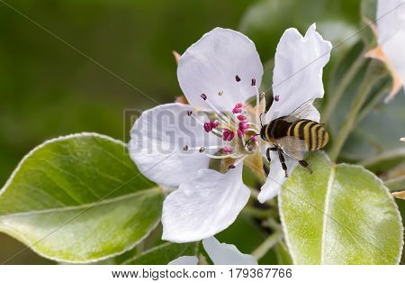 On the branch of a flowering tree bees in the center of the flower collecting nectar. Presents close-up.