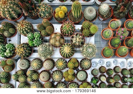 Table with many small round pots with different cactus. Top view.