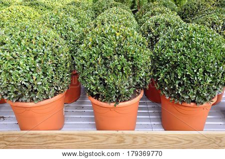 Lots of red pots with spherical trimmed decorative Buxus close up on the shelf.