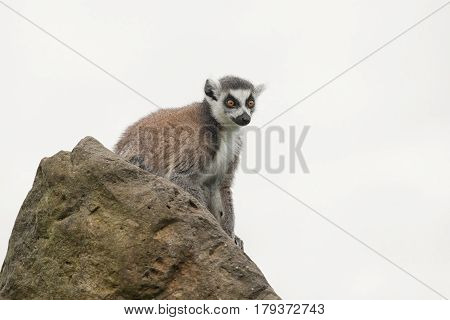 A ring tailed lemur sitting on a rock looking alert isolated against a white background