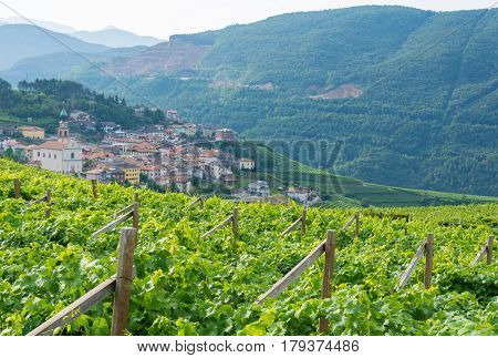 Trentino vineyards in the summer Italy, white wine produstion, South Tirol